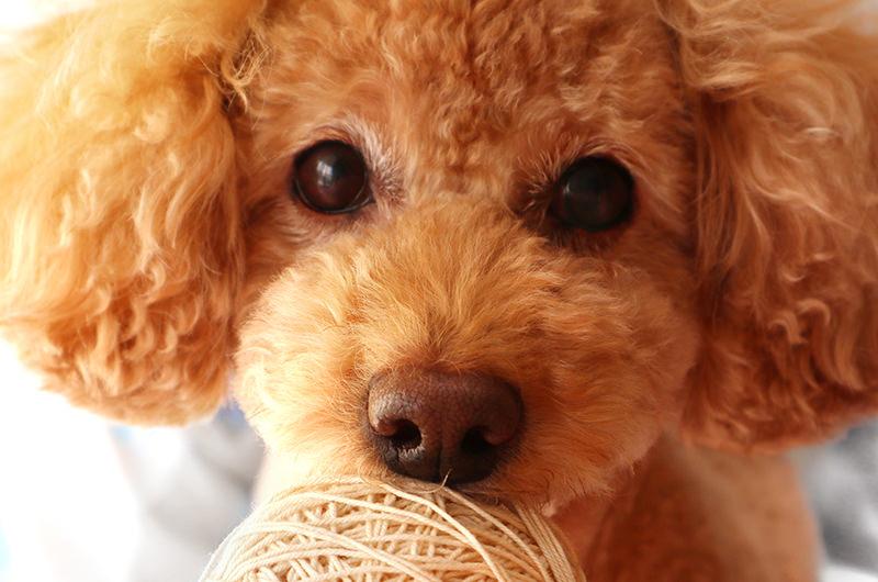 わんちゃんの病気 犬種一覧 滋賀県守山市の守山しっぽ動物病院